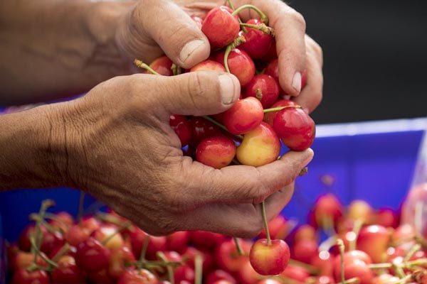 Trái cherry Mỹ nhập khẩu