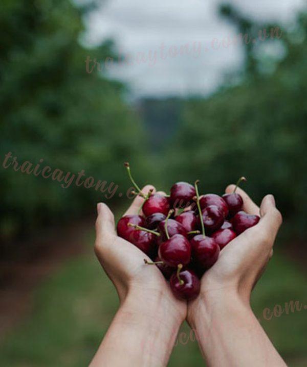 Trái cherry Úc